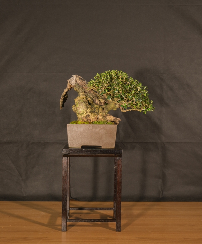 CONGRESSO BONSAI RIVALTA 2016-2179