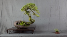 CONGRESSO BONSAI RIVALTA MAR 2017-11
