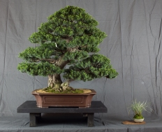 CONGRESSO BONSAI RIVALTA MAR 2017-13