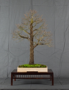 CONGRESSO BONSAI RIVALTA MAR 2017-22