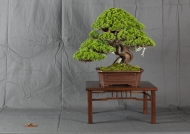 CONGRESSO BONSAI RIVALTA MAR 2017-23