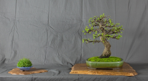 CONGRESSO BONSAI RIVALTA MAR 2017-30