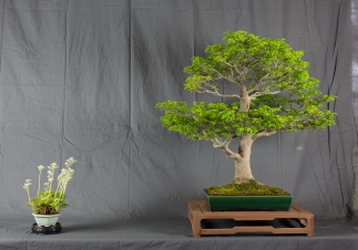 CONGRESSO BONSAI RIVALTA MAR 2017-33