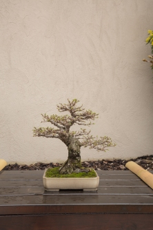 CONGRESSO BONSAI RIVALTA MAR 2017-45