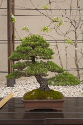 CONGRESSO BONSAI RIVALTA MAR 2017-54