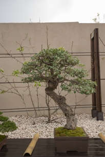 CONGRESSO BONSAI RIVALTA MAR 2017-55