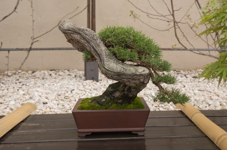CONGRESSO BONSAI RIVALTA MAR 2017-56
