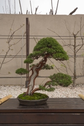 CONGRESSO BONSAI RIVALTA MAR 2017-59