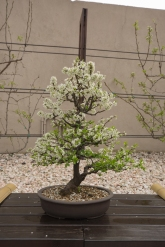 CONGRESSO BONSAI RIVALTA MAR 2017-61