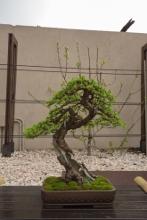CONGRESSO BONSAI RIVALTA MAR 2017-62